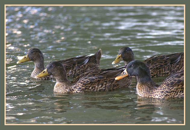 2009-08-13  patos en el ebro (1)