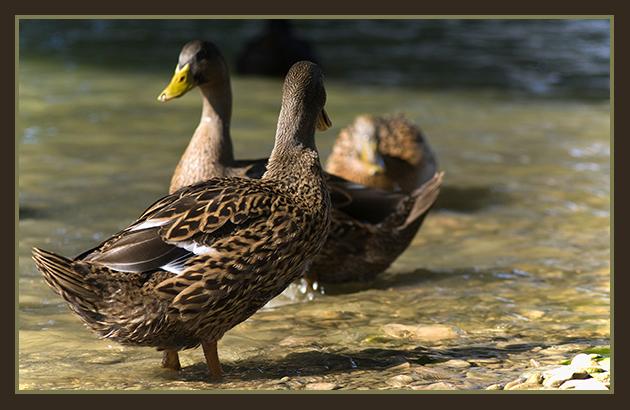 2009-08-13  patos en el ebro_25