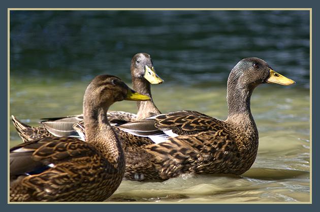 2009-08-13  patos en el ebro_32